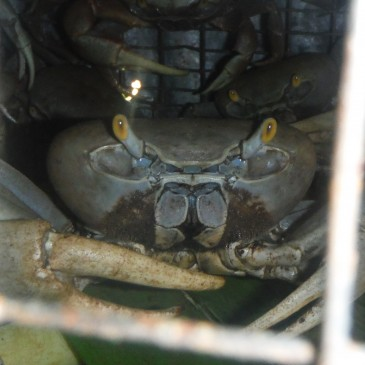 Crab In A Cage